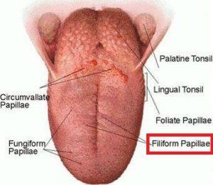 Papila FIliformis