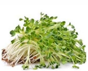 Kecambah Alfalfa