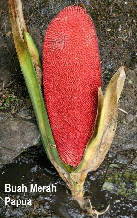 Buah Merah Papua