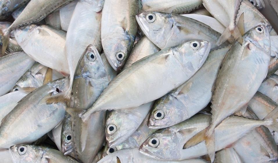 Kandungan Gizi dan Nutrisi Ikan Kembung