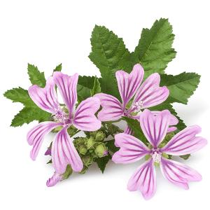 bunga mallow