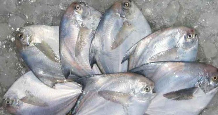 Kandungan Gizi Ikan Bawal