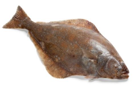 kandungan gizi ikan halibut