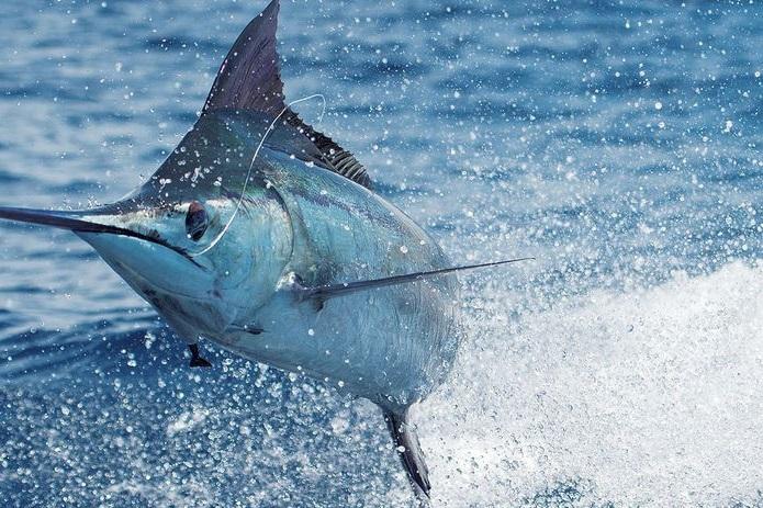 Kandungan Gizi Ikan Marlin