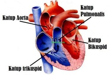 katub jantung manusia